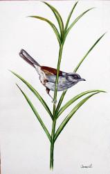 Idi - African Hill Babbler