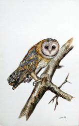 Idi - Barn Owl