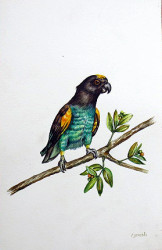 Idi - Brown Parrot