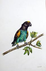 Idi - Brown Parrot