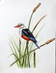 Idi---Chestnut-Bellied-Kingfisher