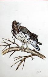 Idi - Martial Eagle