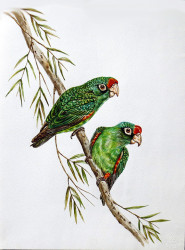 Idi---Red-Fronted-Parrot