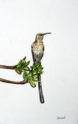 Idi - Sugarbird
