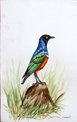 Idi - Superb Starling