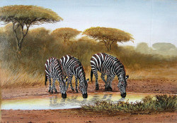 Michuki - Zebras Taking Water